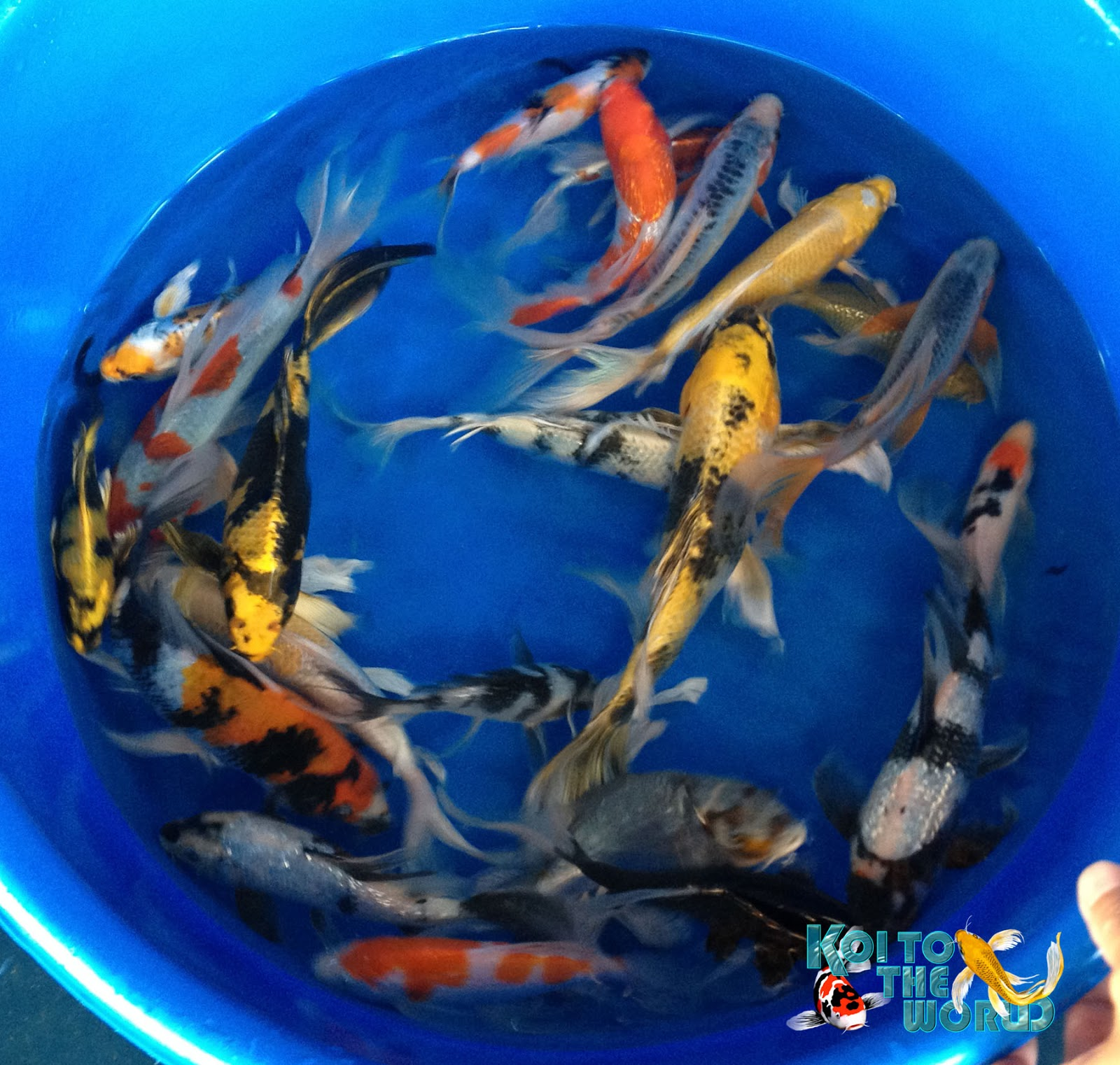 Koi To The World Blackwater Koi Farm Visit