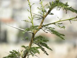 Desta árvore...