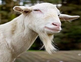 Le capre ebbero la barba da Giove (Fedro)