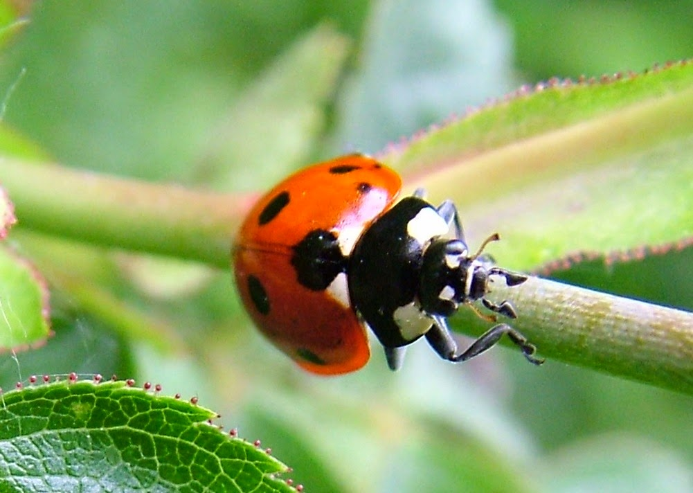 Ladybirds and Spring