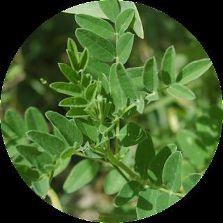 radix astragali, obat herbal jantung lemah
