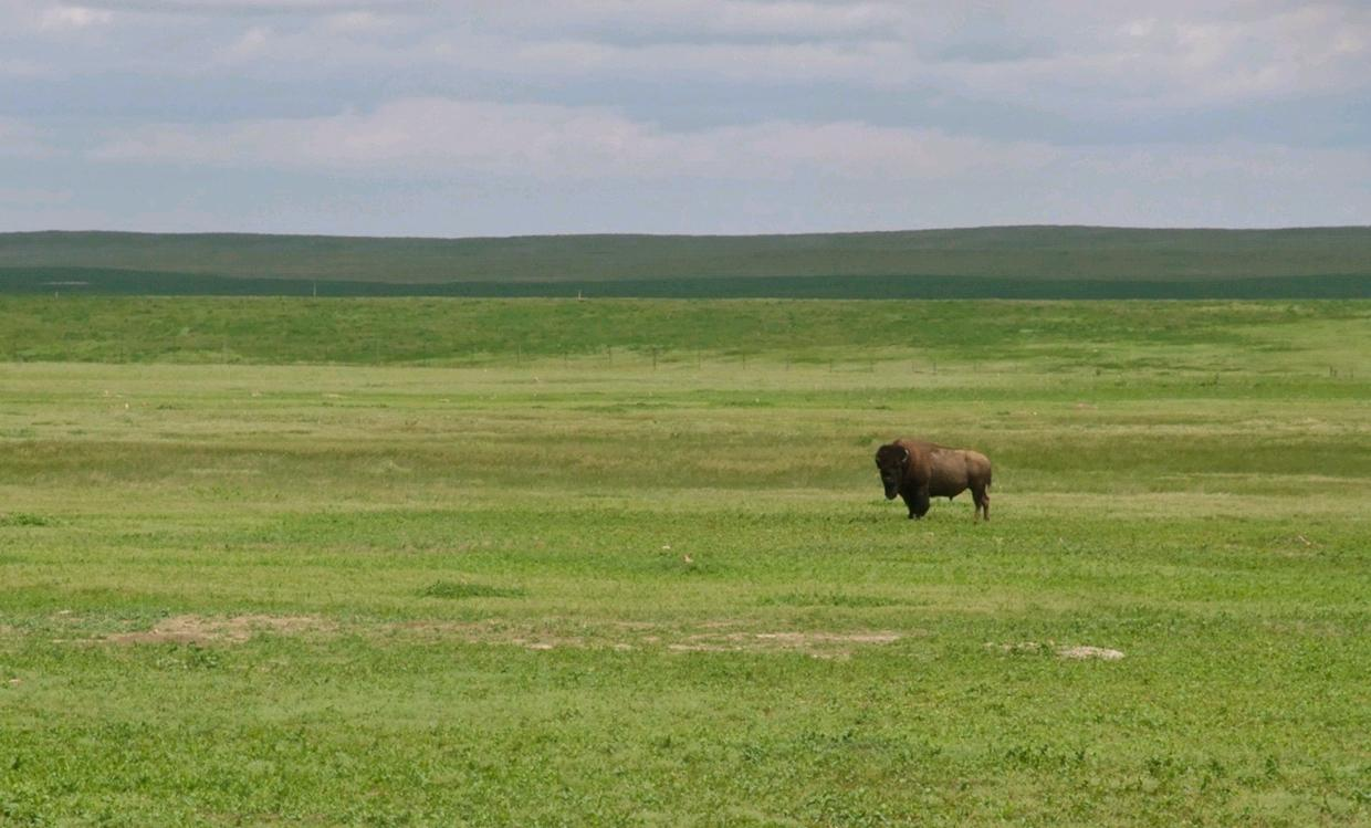 North American Bison Expect The Worse