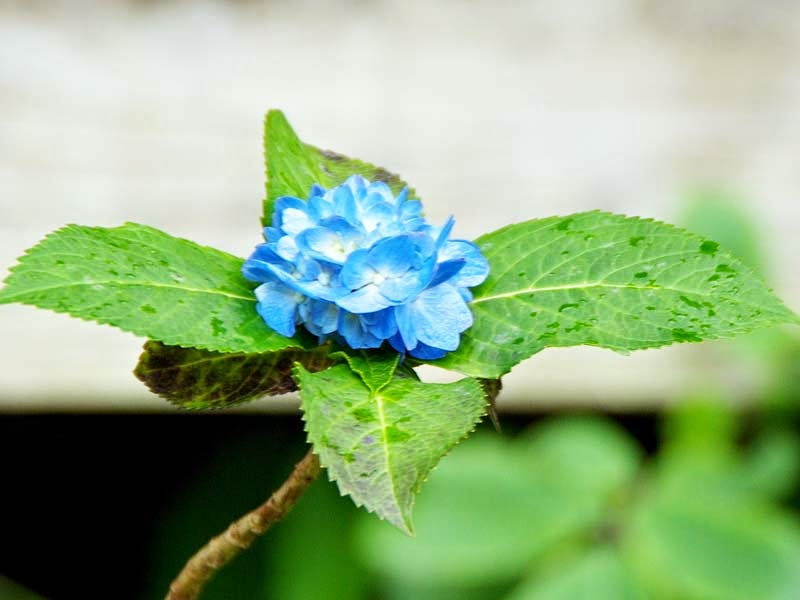 small blue hydrangea flower