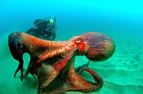 Hewan Terbesar Di DUnia Giant Octopus