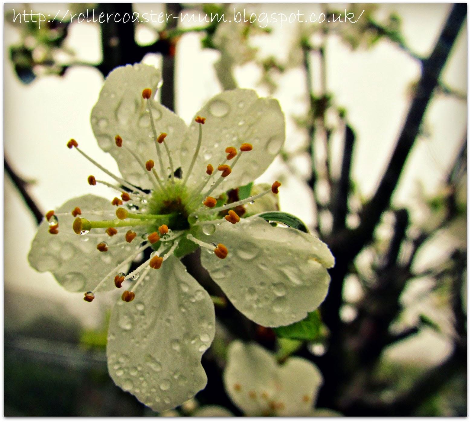 White plum blossom