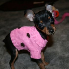 Miniature Pinscher Puppy Pictures