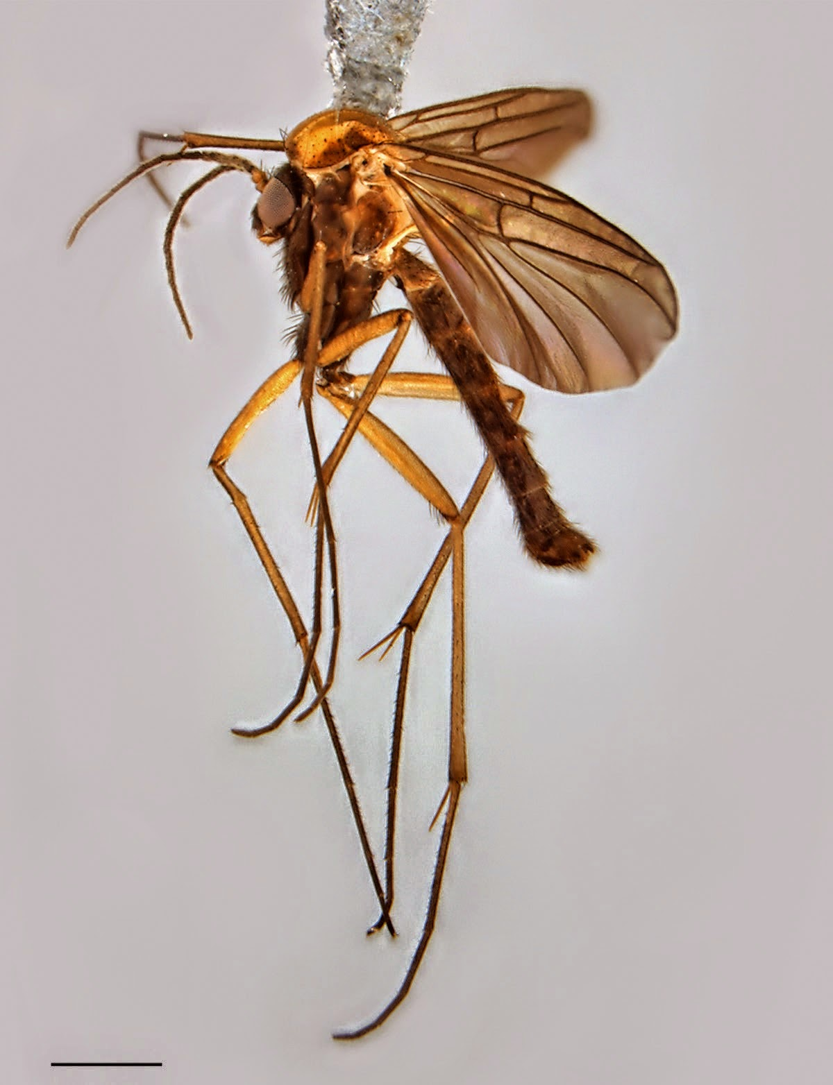 http://sciencythoughts.blogspot.co.uk/2014/12/a-new-species-of-fungus-gnat-from-giant.html