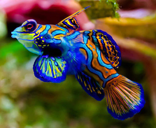 Ifi top 10 top 10 most colorful and beautiful fishes in for Colorful freshwater aquarium fish