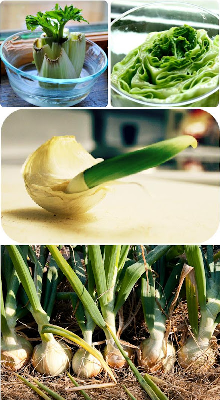 3 Vegetables That Can Be Regrow From Scraps