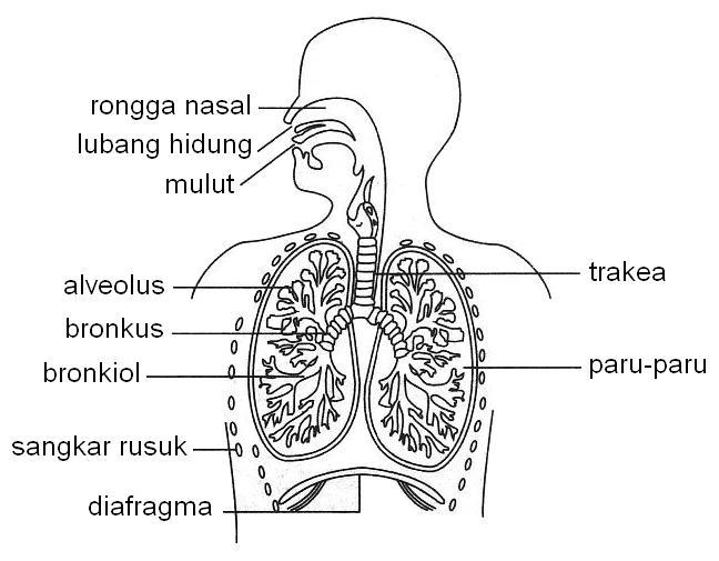 Sistem pernafasan manusia.
