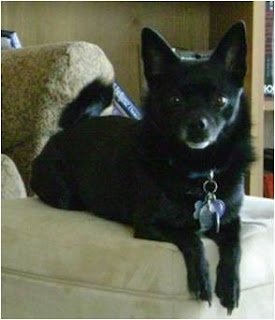 photo of Schipperke on a chair