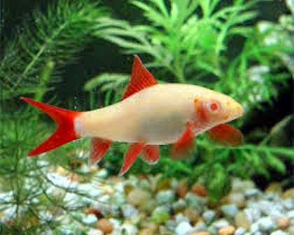 Tropical freshwater fish species albino red fin shark for Rainbow shark fish