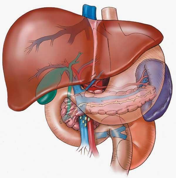pengobatan herbal infeksi hati