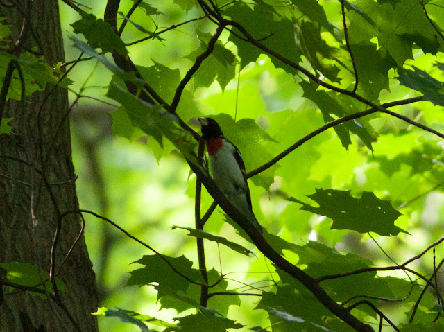 Rose-breasted Grosbeak - Inwood Hill Park, New York