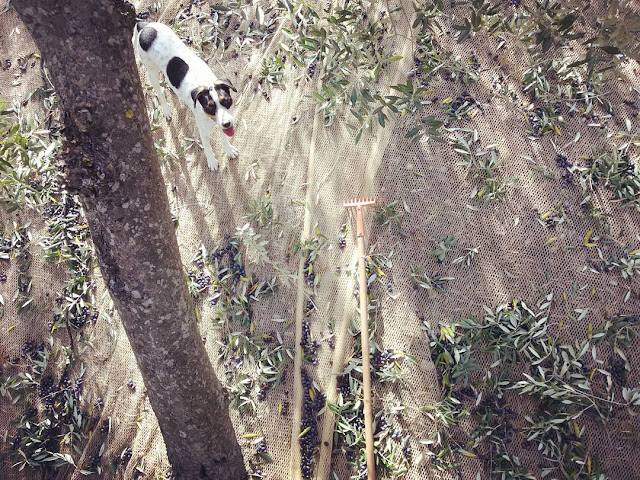 A dog under an olive tree during the harvest 2015