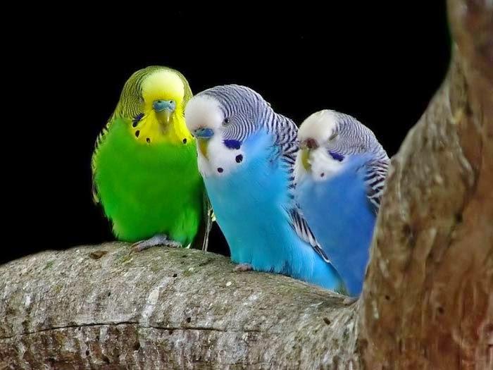 """A foto retrata três periquitos australianos um ao lado do outro, da espécie """"Melopsittacus undulatus"""" pousados em um grosso galho marrom. As aves são de pequeno porte, asas bem juntas ao corpo, pequeninos olhos brilhantes e bico curvado abaixo. As cores das plumagens são diferenciadas; porém, os três têm listras bem finas que iniciam na cabeça e finalizam na cauda, pequenas manchas roxas nas bochechas e uma série de três pintas pretas nos cantos do pescoço (chamadas de pontos da garganta), pés na cor cinza e unhas compridas formando uma garra. Da esquerda para direita: periquito com plumagem esverdeada, com a cara, cabeça e dorso amarelo claro. Os outros dois tem a cara, cabeça e dorso brancos; um é azul-turquesa e o outro é menor, com plumagem azul cobalto e está com o olho esquerdo fechado."""
