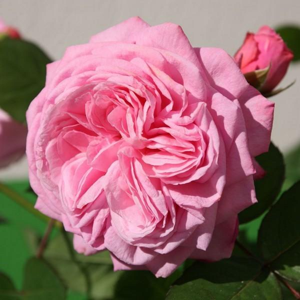 Rosengrafin Marie Henriette rose сорт розы купить фото