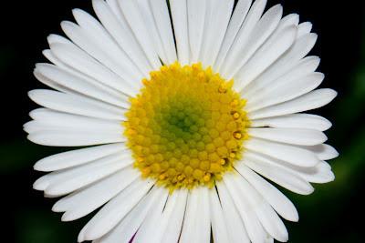 A macro photograph of a small Daisy