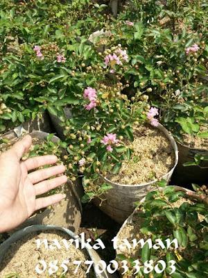 Jual pohon Bunga Sakura Jepang (Prunus Cerasoides)