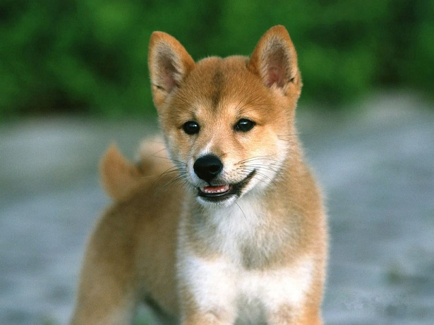 Dog Shiba Inu Puppies Wallpaper Desktop HD