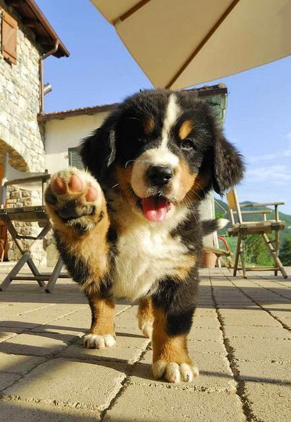 Cute dogs - part 11 (50 pics), puppy waves his paw