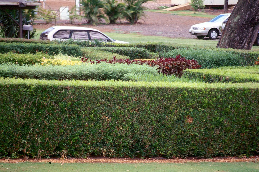 hedges in hawaii's landscapes, part   hawaii horticulture, Natural flower