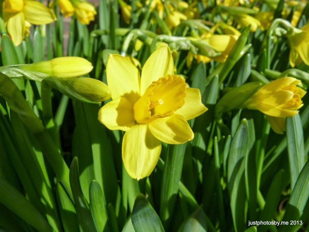 daffodils, spring, cheetahsinmyshoes.com,