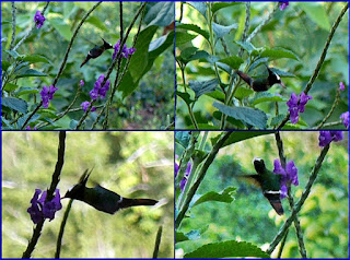 White-crested Coquette hummingbird