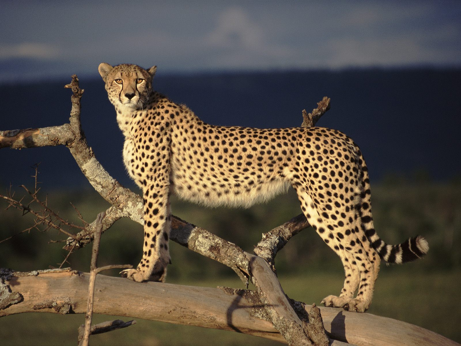 http://2.bp.blogspot.com/-kto1liiPCpU/TdtbZ08NaUI/AAAAAAAAAr4/1Gy0BJAz4Z0/s1600/Female-Cheetah-on-the-Lookout-1-9IORHJVQ5W-1600x1200.jpg