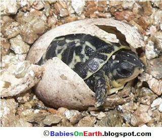 Baby Asian Box Turtle