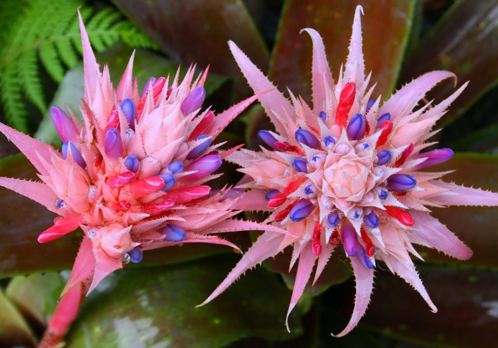 Bromeliads my collection aechmea billbergia guzmania for Aechmea fasciata