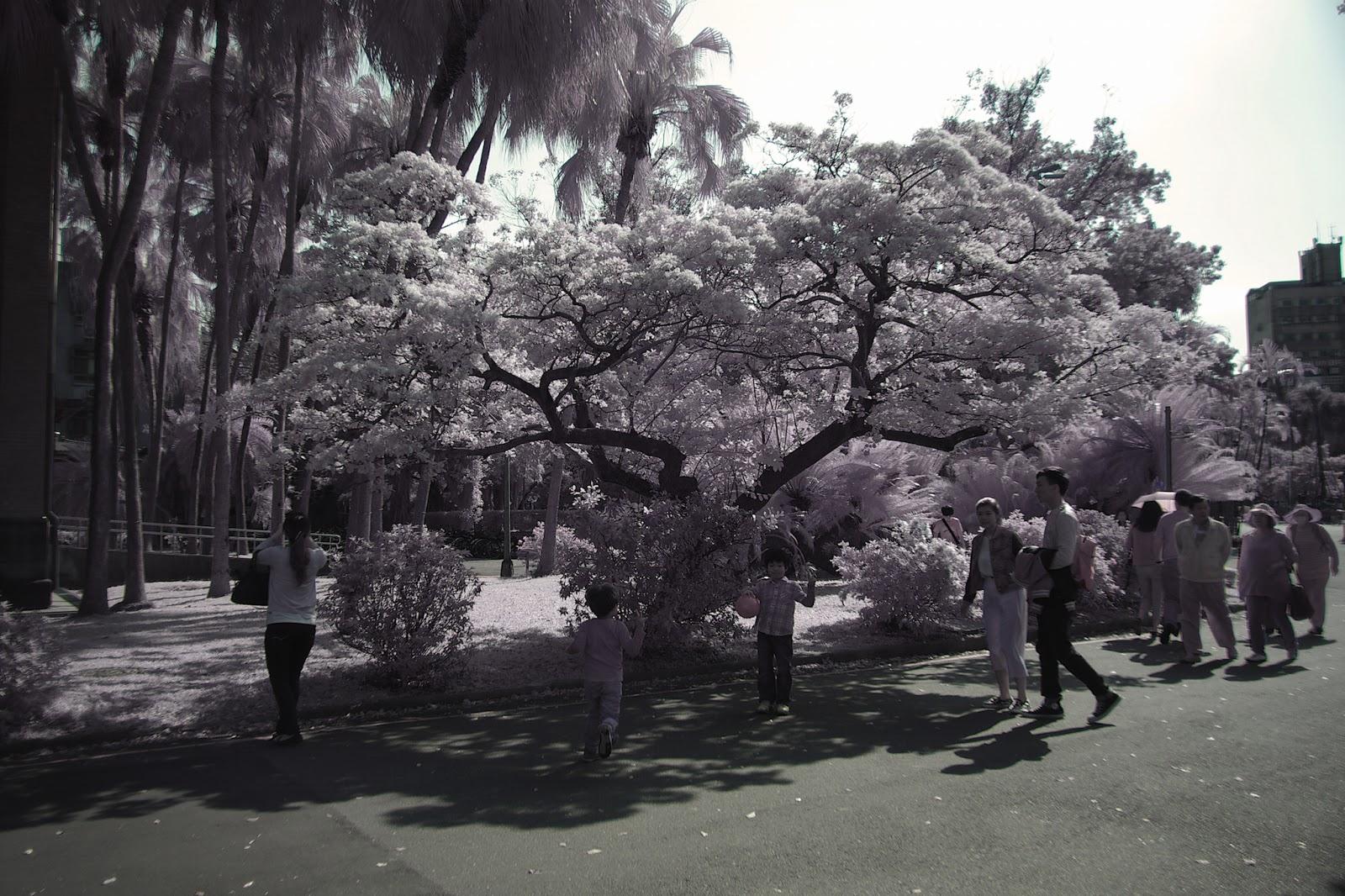 彩色紅外線攝影。台大校園的流蘇。