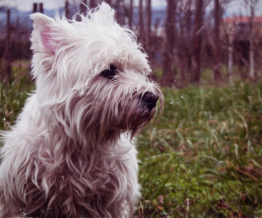 Leos diabetic westie west highland terrier white dog