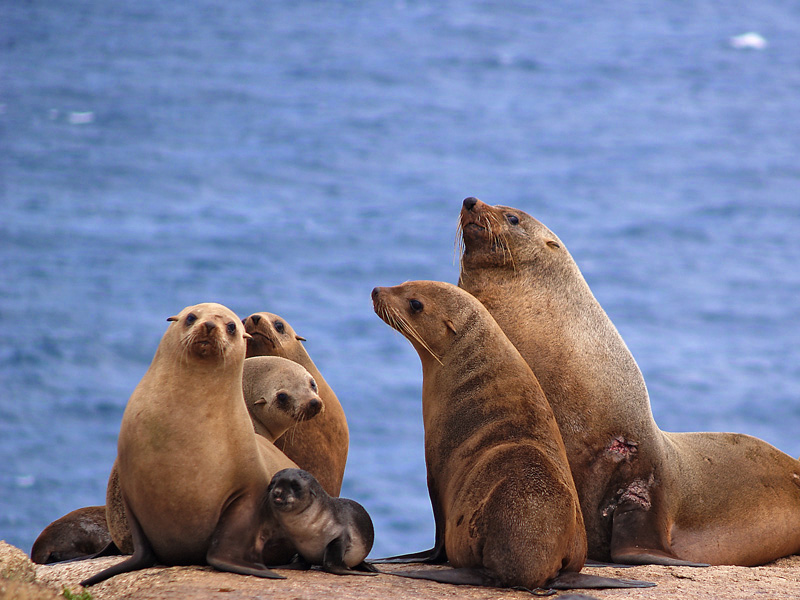 new zealand fur seal and australian fur seal