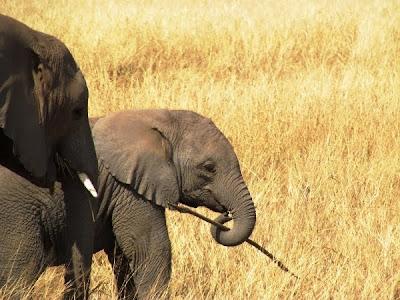 elefant. eslefantes, africa, África, Kenya, kenya, animals kenya, animales kenya