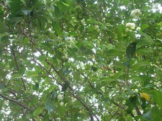 White inflorescence