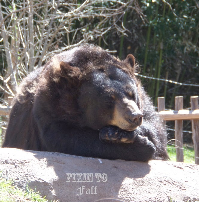 Cameron Park Zoo Black Bear - tuckered out.
