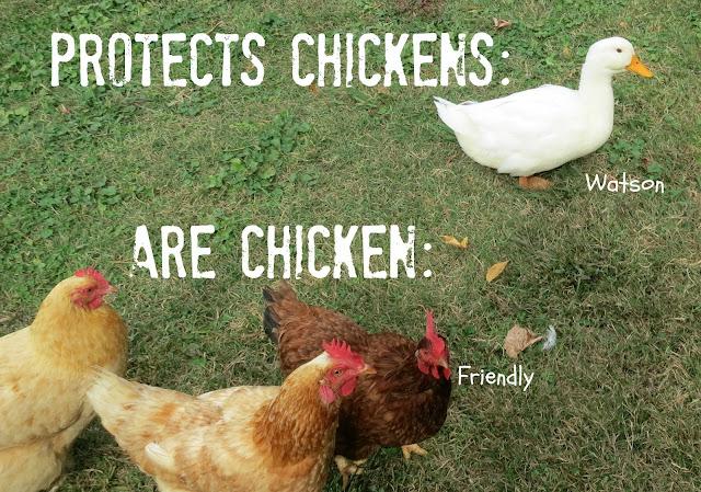 Good Morning Sunday Chicken : Carolina backyard farm