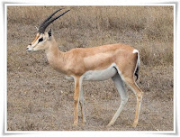 Gazelle Animal Pictures