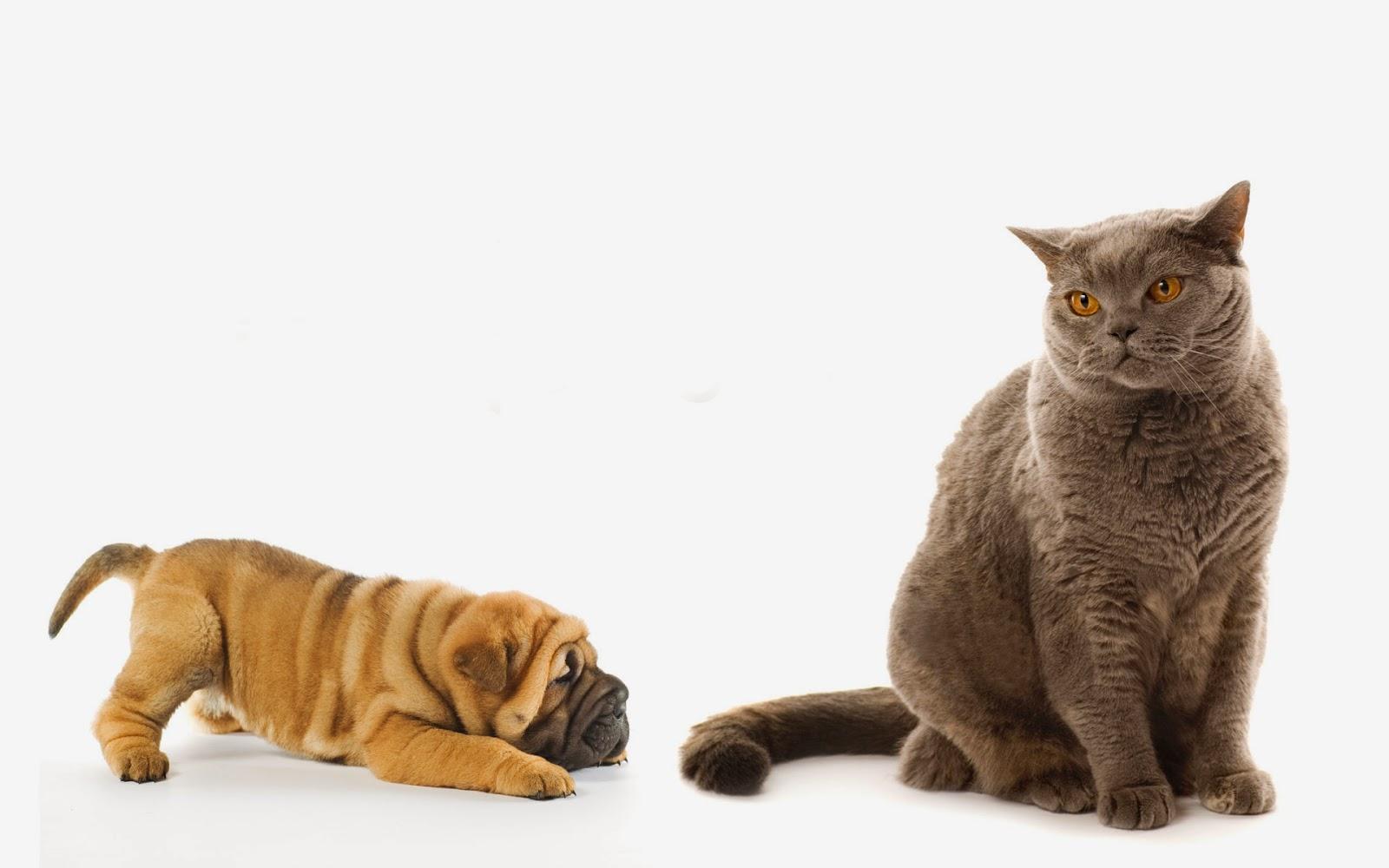 site cu pisici de rasa