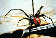 A viúvanegra vive nas teias que constrói, onde caça suas presas.