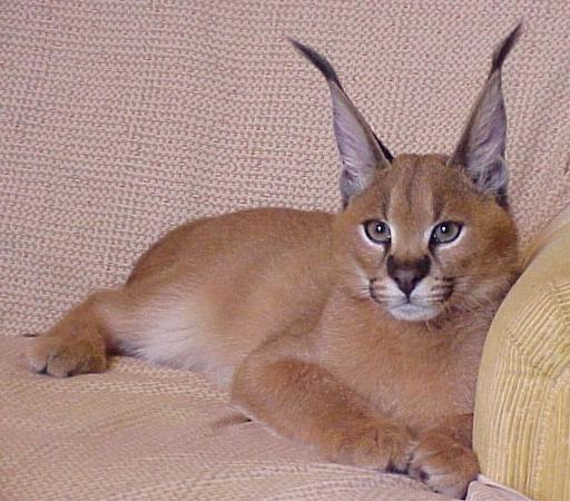 Коты с кисточками на ушах 194