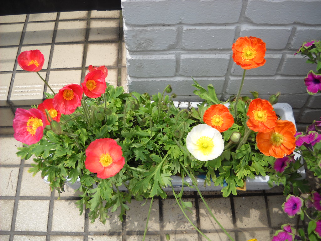Daily Glimpses Of Japan Poppy Flowers In Japan