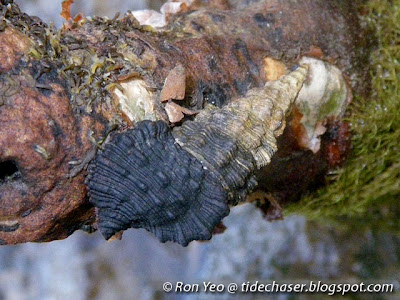 Pellucid Horn (Clypeomorus pellucida)