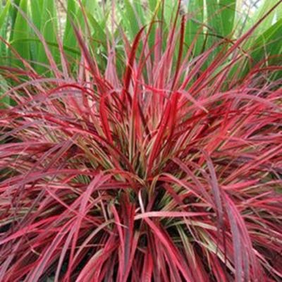 All the dirt on gardening for Red perennial grass