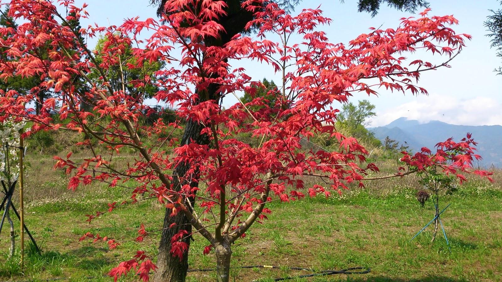 「拉拉山 楓」的圖片搜尋結果