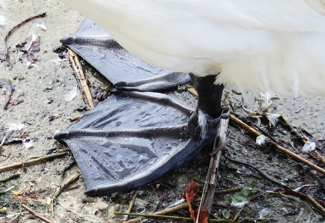 Feet of a mute swan (Cygnus olor) - black