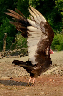 Adult turkey vulture about to take off