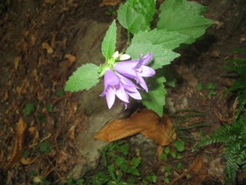 Campanula Trachelium  (Campanula selvatica)