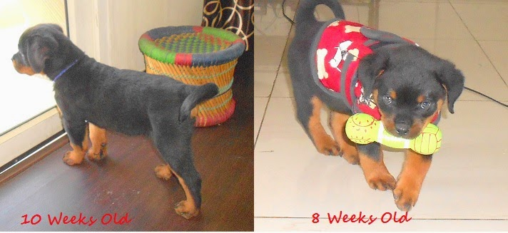 Leo The Rottweiler March 2015